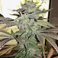 Grape 13 Regular Cannabis Seeds | Hazeman Seeds