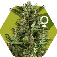 Green AK XL Feminised Cannabis Seeds | Zambeza Seeds