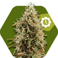 Green AK XL Auto Feminised Cannabis Seeds | Zambeza Seeds