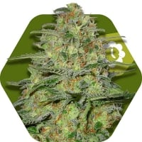Green Monster Auto Feminised Cannabis Seeds | Zambeza Seeds