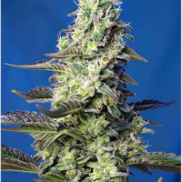 Green Poison XL Auto Feminised Cannabis Seeds | Sweet Seeds
