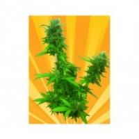 Guerilla Ryder Auto Regular Cannabis Seeds