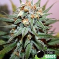 Bomb Seeds Hash Bomb Feminised Cannabis Seeds For Sale