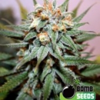 Bomb Seeds Hash Bomb Regular Cannabis Seeds (10 Regular) For Sale