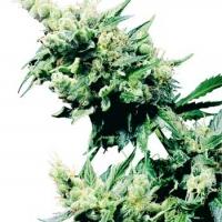 Hash Plant Regular Cannabis Seeds   Sensi Seeds