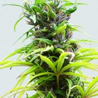 Hawaii Maui Waui Feminised Cannabis Seeds | Sativa Seedbank