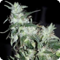 Haze Special Regular Cannabis Seeds | KC Brains Seeds