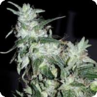 Haze Special Feminised Cannabis Seeds | KC Brains Seeds