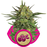 Haze Berry Feminised Cannabis Seeds | Royal Queen Seeds