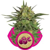 Haze Berry Feminised Cannabis Seeds | Royal Queen Seeds
