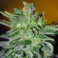 Advanced Seeds Haze Mist Feminised Cannabis Seeds