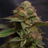 Headband Regular Cannabis Seeds | Hazeman Seeds