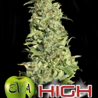 High Level Feminised Cannabis Seeds
