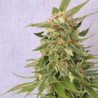 Ginger Punch Auto Feminised Cannabis Seeds
