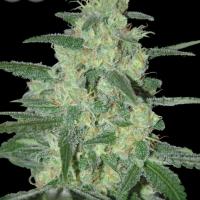 Holy Grail 69 Feminised Cannabis Seeds