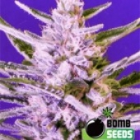 Bomb seeds Ice Bomb Feminised Cannabis Seeds For Sale