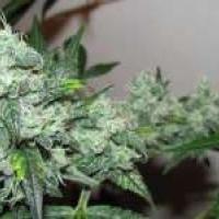 Ice Feminised Cannabis Seeds   Nirvana