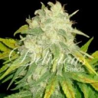 Il Diavolo Auto Feminised Cannabis Seeds | Delicious Seeds