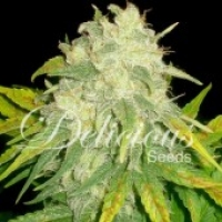 Il Diavolo Auto Feminised Cannabis Seeds | Delicious Seeds