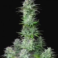 Auto Kosher Cake Feminised Cannabis Seeds | Fast Buds