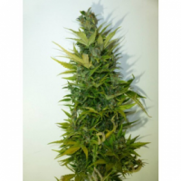 Lemon Haze Feminised Cannabis Seeds