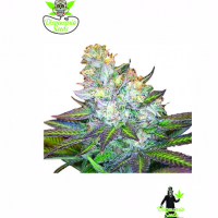 Island Wreckage Feminised Cannabis Seeds | Dispensario Seeds