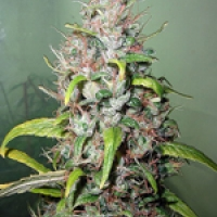 Island Sweet Skunk Feminised Cannabis Seeds | Next Generation Seeds