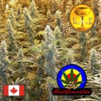 Island Sweet Skunk Regular Cannabis Seeds | Next Generation Seeds