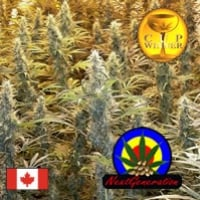 Island Sweet Skunk Regular Cannabis Seeds | Next Generation Seeds