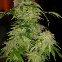 Jack Widow Feminised Cannabis Seeds