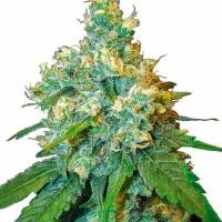 Jack Herer Feminised Cannabis Seeds   Sensi Seeds