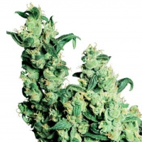 Jack Herer Regular Cannabis Seeds | Sensi Seeds