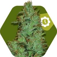 Jack the Ripper Auto Feminised Cannabis Seeds | Zambeza Seeds