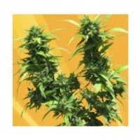 Jack Auto Feminised Cannabis Seeds