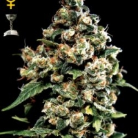 Jack Herer Feminised Cannabis Seeds | Black Skull Seeds