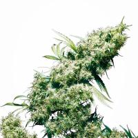 Jamaican Pearl Feminised Cannabis Seeds | Sensi Seeds