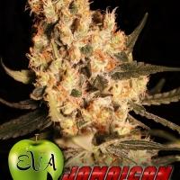 Jamaican Dream Feminised Cannabis Seeds