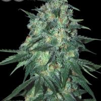 Jekyll Passion Feminised Cannabis Seeds
