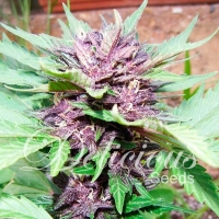 Dark Purple Auto Feminised Cannabis Seeds | Delicious Seeds