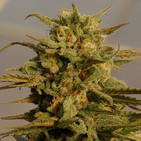 Julie's Cookies Auto Feminised Cannabis Seeds | Big Head Seeds