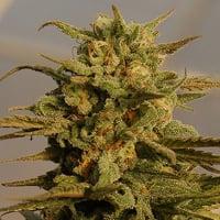 Julie's Cookies Auto Feminised Cannabis Seeds | Big Head Seeds