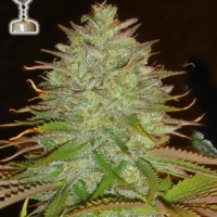 Kaia Kush Regular Cannabis Seeds | Apothecary Genetics Seeds