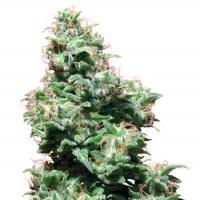 Kali Haze Regular Cannabis Seeds | White Label Seed Company