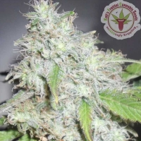 Kalis_Fruitful_Cannabis_Seeds