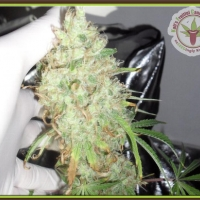 Dr Krippling Kalis Fruitful Range Kalis Lullaby Feminised Cannabis Seeds For Sale