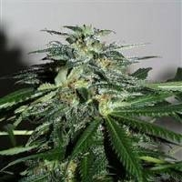 KC42 Feminised Cannabis Seeds | KC Brains Seeds