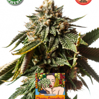 Cherry Grapefruit Auto Feminised Cannabis Seeds | Kera Seeds
