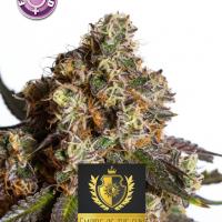 The Empire Of The Sun Feminised Cannabis Seeds | Kera Seeds