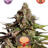Girl Scout Cookies Feminised Cannabis Seeds | Kera Seeds
