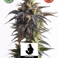 Gorilla Glue Auto Feminised Cannabis Seeds | Kera Seeds